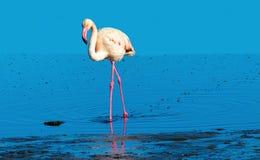 Flamant africain marchant sur le lac de sel bleu de la Namibie photos stock