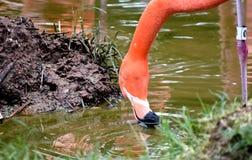 Flamant américain, plumage orange/rose, zoo de Ville d'Oklahoma et jardin botanique photo stock