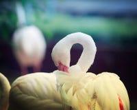 Flamant blanc solitaire photo libre de droits
