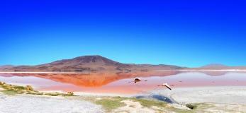Flamant Bolivie de lagune Image libre de droits