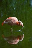 Flamant chilien Photographie stock