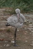Flamant cubain Images stock