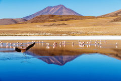 Flamant d'atterrissage de Laguna Bolivie Photos libres de droits
