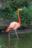 Flamant dans le saint Louis Zoo Photo stock