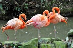 Flamant de faune Images libres de droits