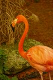 Flamant de Rosy Chilean au lac en automne Photo libre de droits