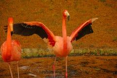 Flamant de Rosy Chilean au lac en automne Photographie stock