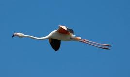 Flamant de vol Image libre de droits