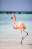 Flamant des Caraïbes d'Aruba Photos stock