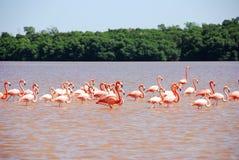 Flamant des Caraïbes dans Yucatan Image stock