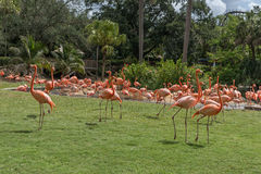 Flamant en jardins Tampa Bay de Busch florida photos stock