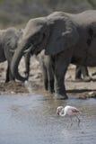 Flamant et éléphant images libres de droits