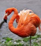 Flamant exotique d'oiseau Images stock