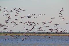 Flamant - fond exotique africain de faune - troupeau de vol Photographie stock