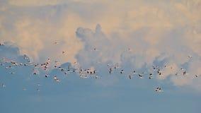 Flamant - fond exotique africain de faune - vol de liberté Photo stock