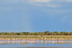 Flamant - fond exotique africain de faune - vol de liberté d'instinct Photos stock