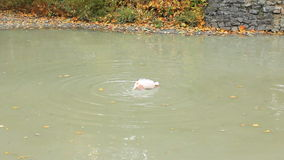Flamant lavé dans l'étang banque de vidéos