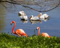 Flamant par un lac Photo stock