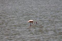Flamant repéré dans le lac Amboseli images libres de droits