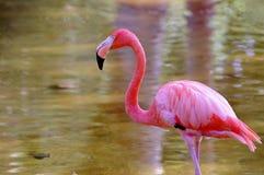 Flamant rose Images libres de droits