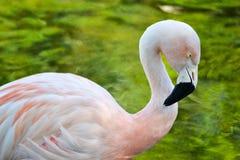 Flamant rose Photographie stock libre de droits