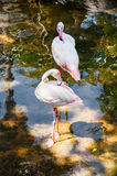 Flamant rose Photos stock