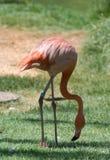 Flamant rose dans le zoo de Jérusalem photos libres de droits