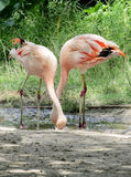 Flamant rose dans un zoo Images stock
