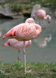 flamant rose se reposant sur une jambe sur la banque de l'étang Photos stock