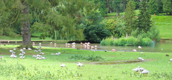 Flamant rose sur un fleuve Photographie stock libre de droits