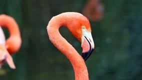 Flamant rouge unique dans un lac, haute photo de définition de cet aviaire merveilleux en Amérique du Sud Photographie stock libre de droits