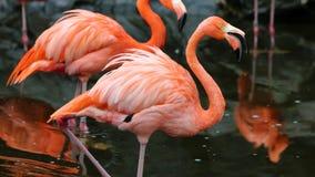 Flamant rouge unique dans un lac, haute photo de définition de cet aviaire merveilleux en Amérique du Sud photos libres de droits