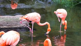 Flamant rouge unique dans un lac, haute photo de définition de cet aviaire merveilleux en Amérique du Sud Photo libre de droits