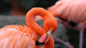 Flamant rouge unique dans un lac, haute photo de définition de cet aviaire merveilleux en Amérique du Sud Photographie stock
