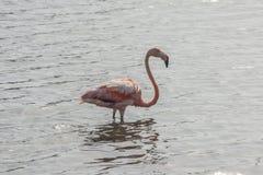 Flamant sur Bonaire, Néerlandais Antilles image stock