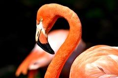 Flamant, zoo de Ville d'Oklahoma photographie stock libre de droits