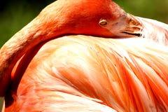 Flamant, zoo de Ville d'Oklahoma photographie stock