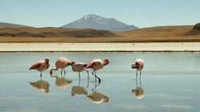 Flamants à Laguna Colorada, Bolivie image stock