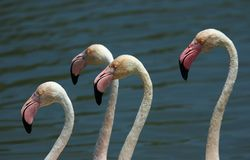 Flamants photographie stock