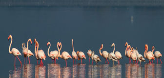 Flamants photographie stock libre de droits