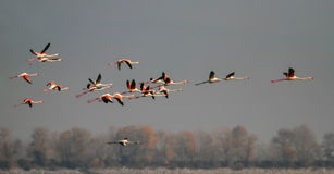 Flamants Photos libres de droits