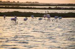 Flamants… Images libres de droits