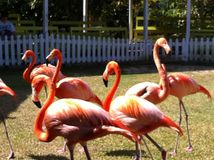 Flamants Photos stock