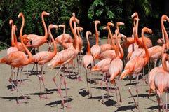 Flamants au zoo de San Diego Image libre de droits