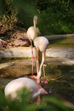 Flamants, Berlin Zoo Photo libre de droits