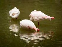 Flamants blancs se reposant dans un lac Images libres de droits