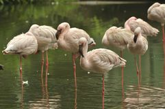 Flamants chiliens Image stock
