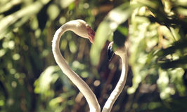 Flamants d'amour Images libres de droits