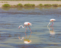 Flamants dans Camargue Photo stock