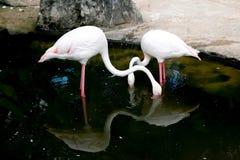 Flamants dans l'étang au zoo photo libre de droits